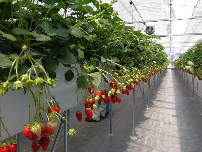 高設栽培のため果実が土に触れることなく衛生的
