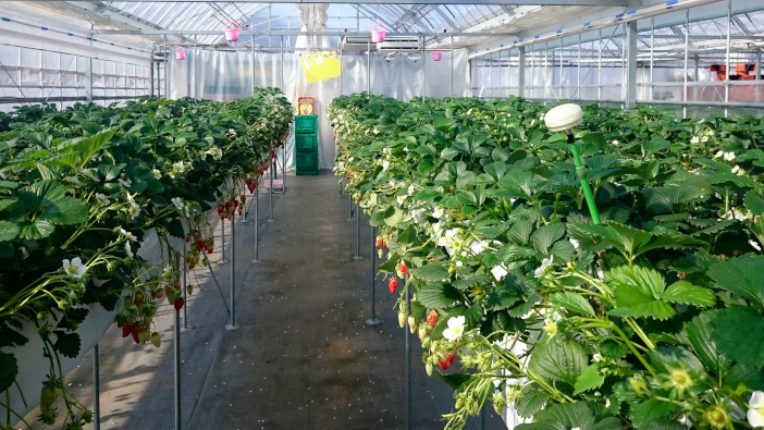 共同で開発を進める温湿度センサをハウス内に設置。いちごの成長を制御