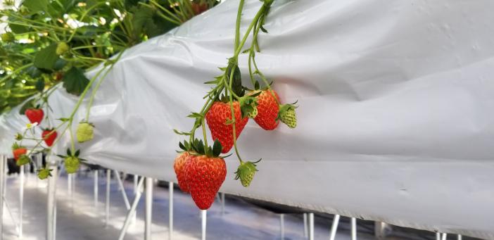 温室効果ガスフリーいちご栽培も可能